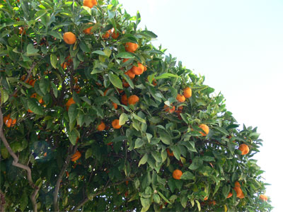 Tangerines and other fruit grow everywhere