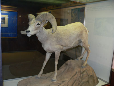 Stuffed Desert Bighorn sheep